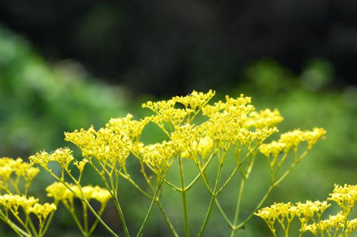 オミナエシ(女郎花)の学名はPatrinia scabiosaefoliaといい、オミナエシ科オミナエシ属の多年生植物です。中国、日本、東シベリアに広く分布しています。根を乾燥させて煎じたものは生薬となり「敗醤(ハイショウ)」とも言われます。開花時期は6月から10月頃です。