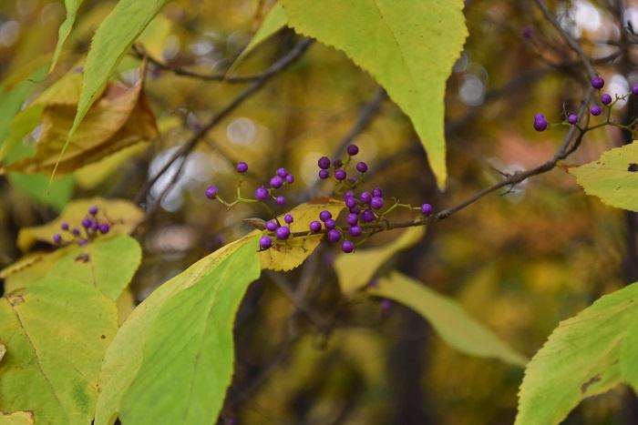 紫式部(ムラサキシキブ)  日本を中心にアジア圏でよく見かける植物で、5月~7月頃に花を咲かせ、9月~10月の秋になるとたくさんの紫色の実をつけます。花よりも実の方が目立つ植物です。花屋さんでも枝もの花材として流通しています。