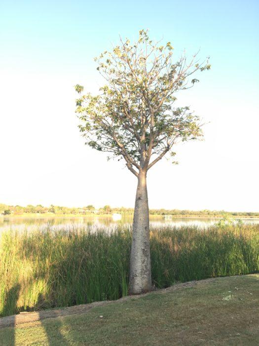 乾燥地での自生している光景が印象的であるバオバブだが、写真のように年中水につかったような場所でも、そこで生まれれば生き続けることができる。