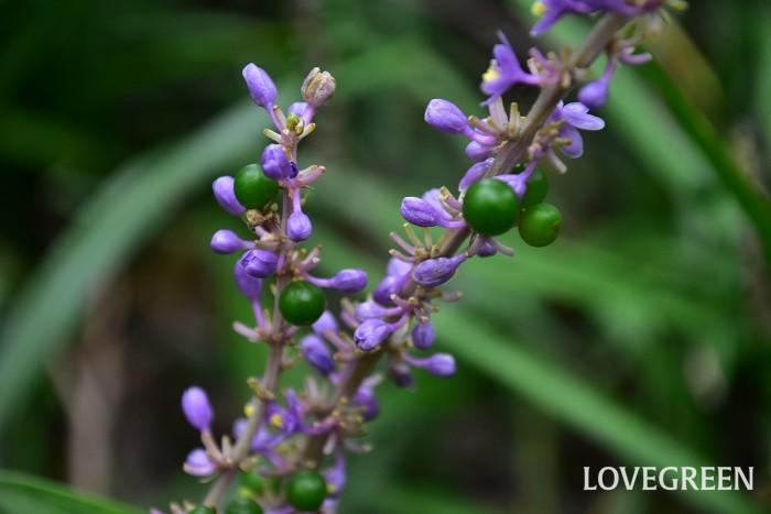 ヤブランは、8月~10月頃に花を咲かせます。花の開花後、グリーンの実になり次第に実の色が藍色になっていきます。