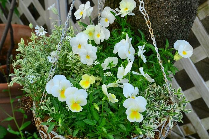 ビオラと開花期間が同じ時期の草花を選ぶ ビオラの本来の開花時期は春ですが、流通は10月後半から始まります。ビオラ以外の草花の流通も実際の開花時期より早く出回っていることが多いので、それぞれ同じ時期に開花している草花を組みあわせると長く楽しめる寄せ植えを作ることができます