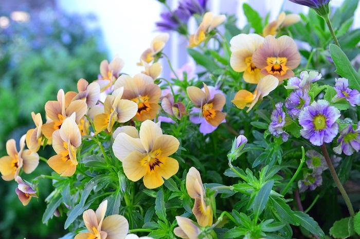 パンジー、ビオラは本来は春の花ですが、最近では苗は10月くらいから園芸店に並び始め、流通のピークとしては冬の間となっているため、公園や公共施設の冬の花壇で一番よく見かける花のひとつです。寒い季節は花が少ないですが、気温が緩みだすと一気に花が増えてきます。冬から春まで長く足元を彩ってくれる草花です。