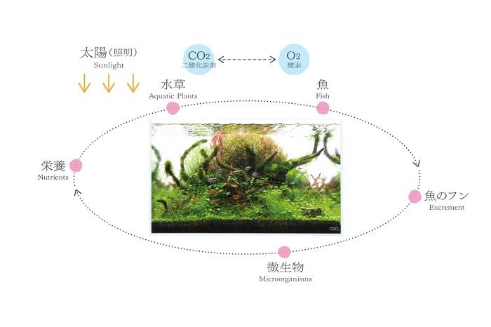自然の中では、たくさんの生きものがお互いに関係しながら生きています。このしくみを「生態系」とよびます。生態系はネイチャーアクアリウムにもあり、水草と魚、微生物の関係によって水槽の環境がバランスよくたもたれているのです。