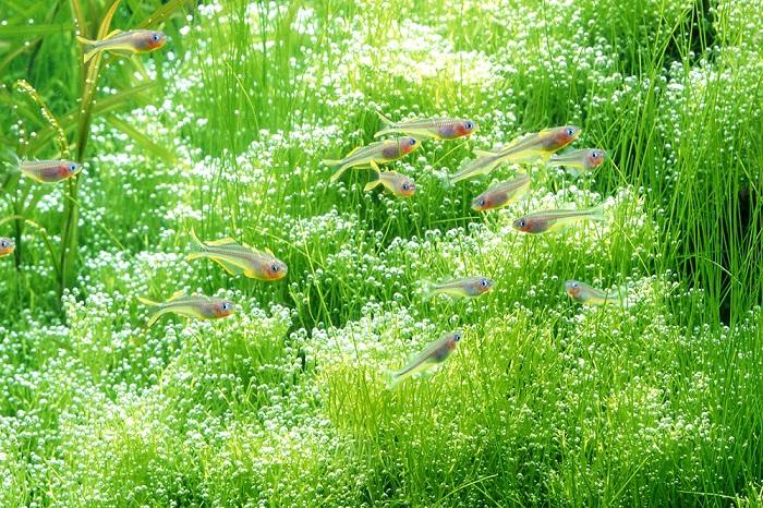 魚たちは水草がつくった酸素(O2)で呼吸をし、水草は魚たちが出した二酸化炭素(CO2)で光合成をしています。このように魚と水草は、水槽の中でお互いに良い関係で生活をしているのです。そんな自然さながらの生態環境を再現する――それがネイチャーアクアリウムです。