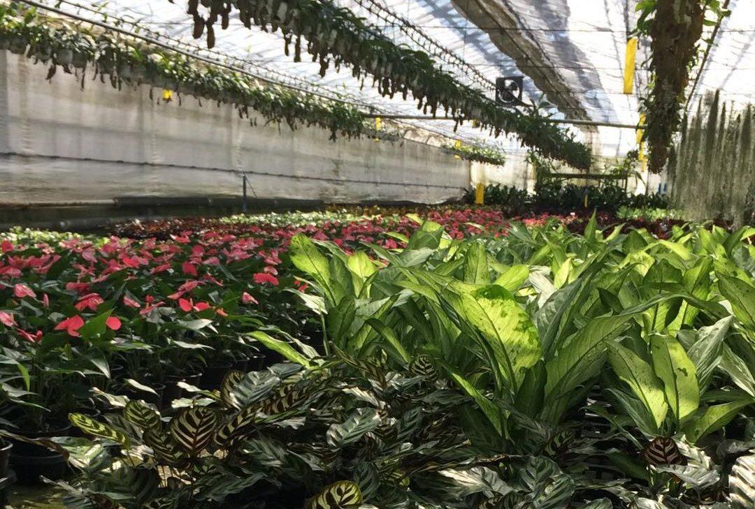 愛知県は、花の生産量が日本一の花王国。バラ、キク、ラン、カーネーション、シクラメン、そして観葉植物と、多種多様な植物が生産されています。さらに愛知県には、鉢物植物の取扱量がアジア最大(!)、世界でも第5位の市場「豊明花き市場」もあるんです。アジア最大の鉢花市場ってすごいですよね。そんな風な視点でお花を見ると、日本の植物生産って改めてすごいんだとちょっと違って見えてきます。ぜひ、愛知の花に触れてみてください!