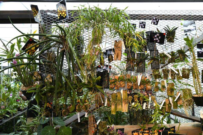 タイなどのナーセリーから密に情報を集め、ユニークなランを集めているはちのへ洋ラン園。首都圏で開かれるラン展に積極的に参加していますが、出店のたびに変わる品ぞろえが楽しみでつい見に行ってしまう人も多いのでは。