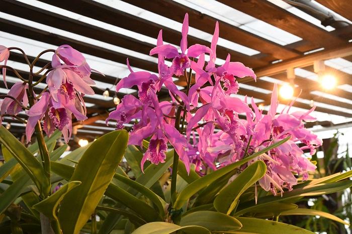 最近、ティランジアやビカクシダなどの着生植物を育てていた人の中から着生ランを育て始める人が増えています。  そうした、ランを育て始めた人の中でも人気のカトレア。  大きく、華やかな花が咲くのがカトレアの大きな魅力ですが、そんな花を咲かせてみたい人が多いようです。
