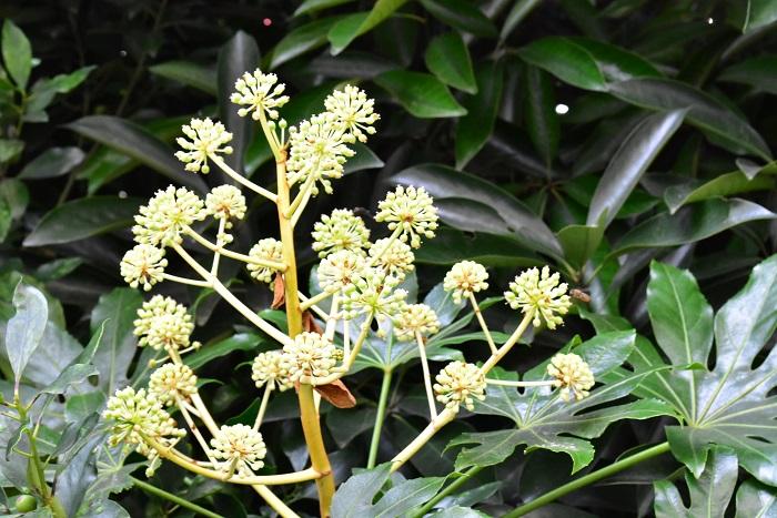 古くから庭木として、縁起木として庭に植栽されているヤツデ。小さくて目立ちませんが、晩秋から冬にかけて花が開花します。写真はつぼみの状態。このボール状の一粒、一粒が花火のようにはじけて小さな花が開花し、その後緑の実となります。実の状態のヤツデは、最近は切り花としても流通するようになりました。