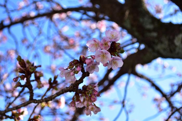 あたみ桜  桜の開花宣言で用いられるのは「ソメイヨシノ」という桜ですが、桜にはたくさんの種類があり、中には晩秋から冬に咲く桜もあります。  写真のあたみ桜は開花が1月~2月の冬で、開花期間が長いのが特徴の桜です。  晩秋から冬にかけて咲く花は他にもたくさんの種類があります。「十月桜」という年2回咲く桜もあり、10月~1月くらいまでが開花時期です。