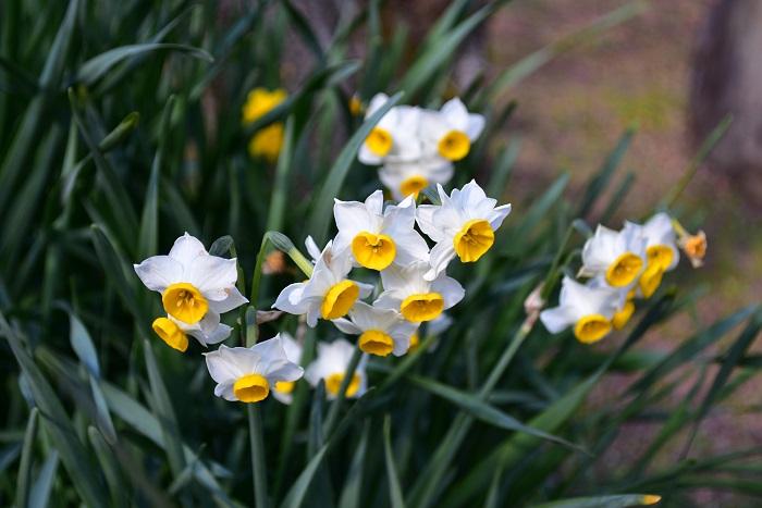 日本水仙(ニホンズイセン)  たくさんの品種がある球根の花、水仙(スイセン)。品種によって、秋咲き、冬咲き、春咲きなど、開花時期が違います。  冬に咲く代表的な品種としては、房咲きで咲く「日本水仙(ニホンズイセン)」。お正月の生け花の花材として、切り花でもたくさん流通しています。