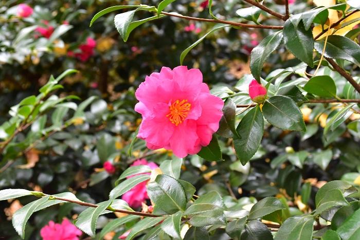 サザンカ  とてもよく似ている花のサザンカとツバキ。サザンカの開花時期は晩秋~2月ごろ、ツバキの中でも寒椿(カンツバキ)と呼ばれる種の開花時期は11月~2月の冬に開花します。どちらも花の少ない冬に、木一面にたくさんの花が開花します。