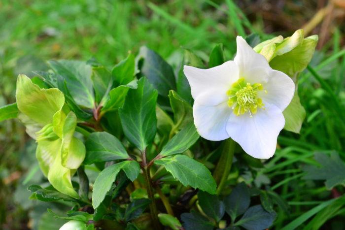 性質が強く、寒い冬から早春にかけて開花する人気の花、クリスマスローズ。毎年新品種が登場し、色や咲き方などがとても豊富でマニアも多い常緑多年草です。原産がヨーロッパなので寒さにもとても強い花です。  クリスマスローズという名前は、ヨーロッパのイギリスやドイツのような気象だと、クリスマスの頃に咲くことから名前がついています。実際にクリスマスの頃に咲く品種は、原種の「クリスマスローズ・ニゲル」などです。  その他、色々な系統がありますが、流通しているクリスマスローズのほとんどの開花時期は年明けとなります。流通としては、ニゲル種がクリスマス前の11月中旬以降くらいから開花苗が出回り始め、年明けに様々な品種が流通します。年内に開花し始めるニゲル種と春に開花するその他の系統のクリスマスローズをうまく組み合わせると、12月~春まで常にクリスマスローズが咲いているという植栽を作ることができます。
