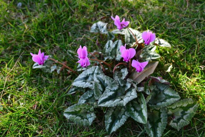 原種シクラメン  冬のガーデニングの代表花のようなシクラメン。シクラメンもたくさんの品種がありますが、庭で育てるなら「ガーデンシクラメン」や「原種系のシクラメン」、室内で育てるなら鉢ものとして出回る「シクラメン」と、どこで育てるかによって種類を選ぶことが大切です。次から次へと花芽が上がり、ワンシーズンでたくさんの花が咲くので冬の花が少ない季節を華やかにしてくれる存在です。