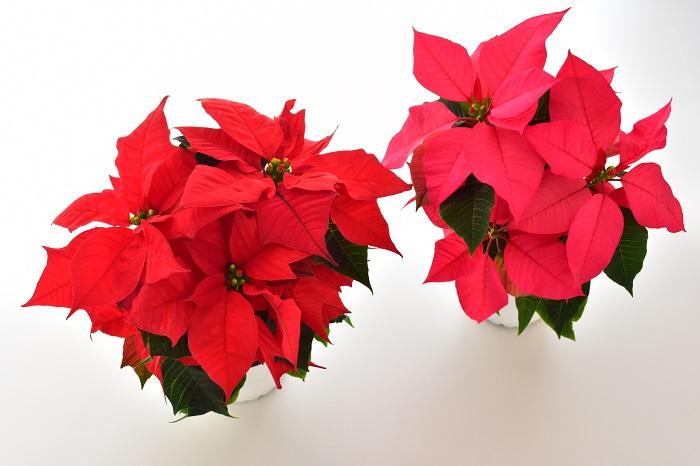 日本ではクリスマスをイメージする植物の筆頭のポインセチアは、クリスマスが近づく頃になると、街のディスプレイや庭や室内の彩としてあちこちで見かけることができます。クリスマスの花として定着し、寒い季節の植物だと思われがちですが、ポインセチアは本来は熱帯の植物。鉢植えを購入したら、日の光が当たる暖かい室内で管理しましょう。
