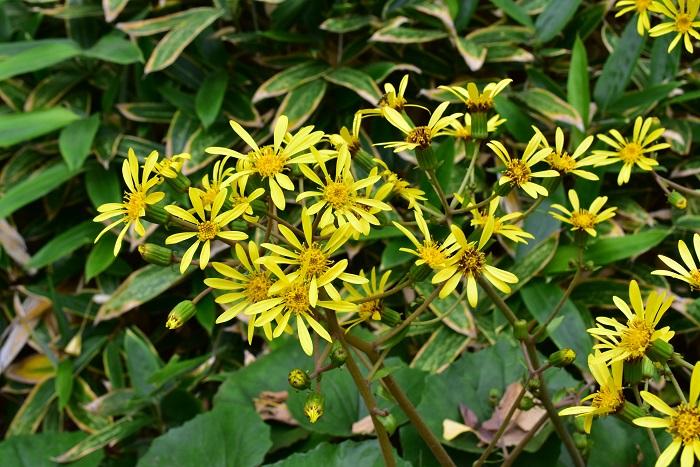 ツワブキは晩秋から12月の冬の始まりごろに花が咲くキク科の常緑多年草です。日本全国で見かけることができ、葉が斑入りの園芸品種もあります。