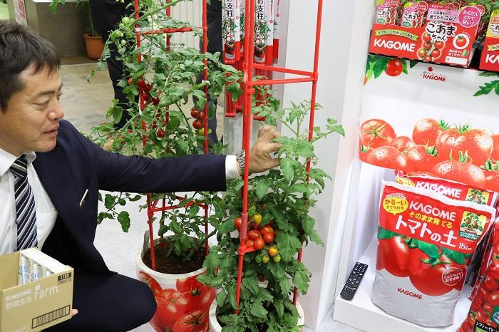 「省スペース」選抜品種のミニトマト「あまたん」について、営業本部前田さんに話を聞きました。ベランダ菜園などでは苗が大きく育ちすぎると管理が難しい。というエンドユーザーからの声により、省スペースで栽培できてしっかり甘い苗が生まれたそうです。