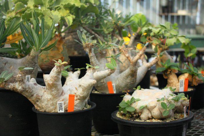 幹や根をぷっくりと太らせた、その個性的な姿で多くの人を魅了する塊根植物。数十年物の大きくワイルドに育った塊根植物は迫力があります。小さな子株が並ぶ隣の棚には大きく育ったパキポディウムたち。こんな風にカッコよく育つことを考えると思わず手に取ってしまいますね。