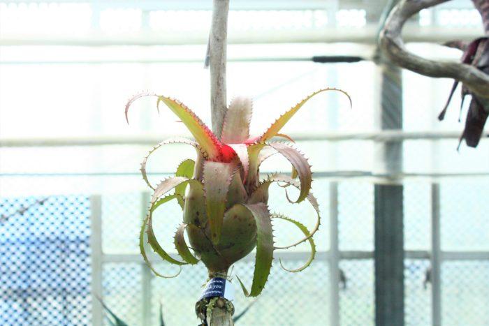 目線を上げると、流木に着生したネオレゲリア。鉢植えで見かけることが多い植物ですが、このように着生させて育てることもできるそうです。特にこの株は開花前なので中心部分がピンク色に発色しています。この綺麗な発色も管理の賜物です。ブロメリアは管理が難しい分敬遠されがちですがSatoshiさんがしっかりと教えてくれるのでご安心下さい。