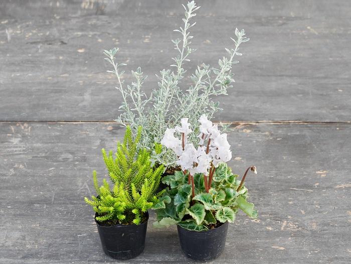 白のフリル咲きガーデンシクラメン(写真:右前)をメインにしています。寒々しい感じが出ないように気を付けて、白とニュアンスが一緒の植物を合わせました。白いシルバーリーフのオレアリア(写真:真ん中後ろ)にライム色のエリカ(写真:左前)を添えて明るくすっきりさせています。斑が入っていないリーフを合わせることで、白い花の美しさが引き立っています。