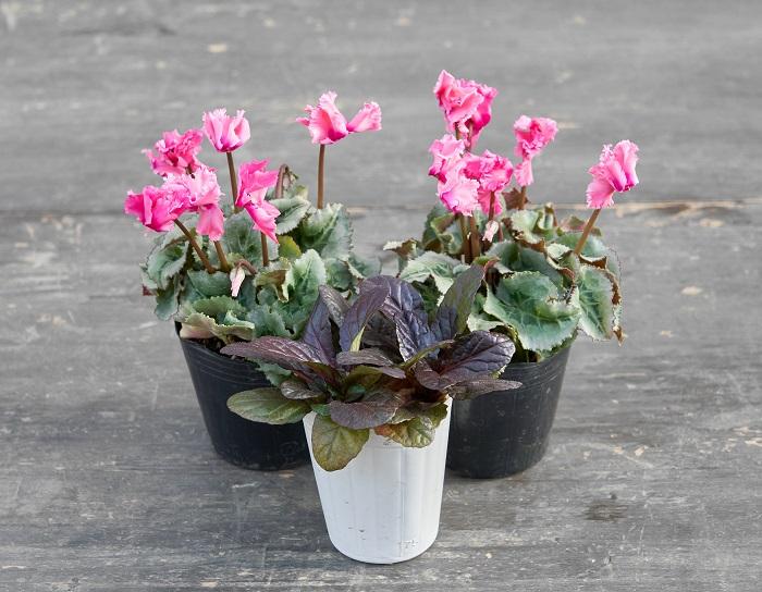 ピンクのフリル咲きガーデンシクラメン2つ(写真:左右後ろ)と銅葉色のアジュガ(写真:真ん中前)を合わせました。シンプルな組み合わせの一例なのですが、甘いイメージがあるピンクの花の真ん中に銅葉色の葉を入れてひきしめ感を出し、甘すぎずシンプルに引き立てています。アジュガは背が高くならないので、手前に持ってきてもじゃまにならずに使いやすいです。