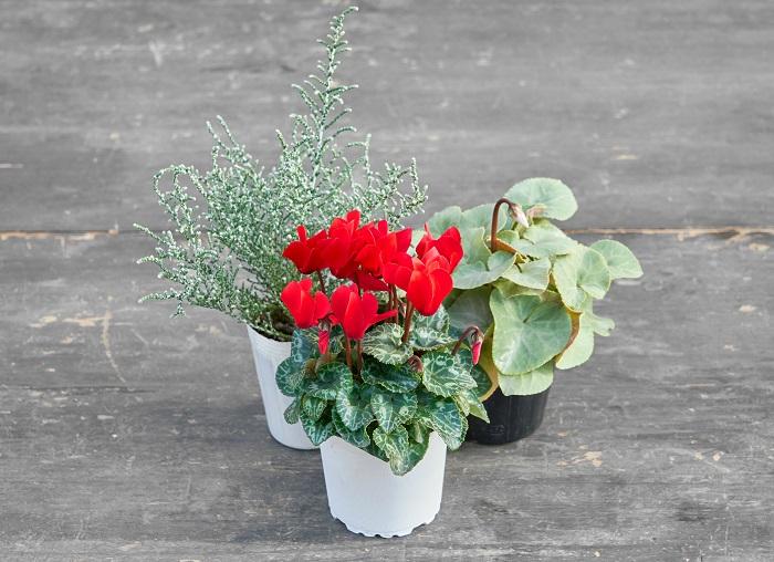 赤のガーデンシクラメン(写真:真ん中前)をメインに使い、シクラメンプラチナリーフ(写真:右後ろ)とシルバーリーフのオレアリア(写真:左後ろ)を合わせて雪景色を思わせるようなクリスマスのイメージをつくりました。シクラメンプラチナリーフは、ほんのりピンクのさくら色の花が咲きます。赤いシクラメンは色の主張が強いので、ほんのりピンクのさくら色の花と、シルバーリーフを合わせることで上品にまとまりました。