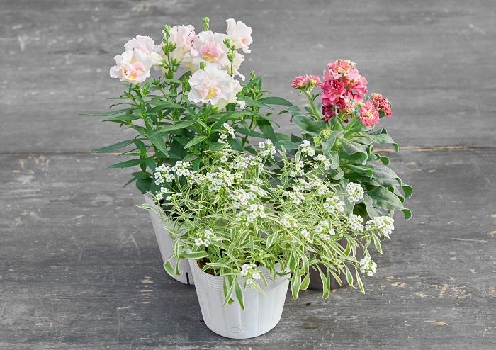 アンティークカラーのストック(写真:右後ろ)に、パステルカラーのキンギョソウ(写真:左後ろ)と白い小花のスーパーアリッサム(写真:真ん中前)を合わせて可愛らしい組み合わせをつくりました。背が高い植物2つと、手前に広がる植物を組み合わせた一例でもあります。アンティークカラーを使う時に、さらに渋い色を合わせると全体が暗くなってしまうので、パステルカラーを合わせて明るさを出しました。
