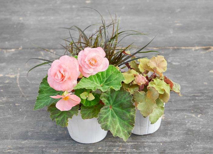 ピンクのフォーチュンベゴニア(写真:左前)をメインに使い、フォーチュンベゴニアの葉の茶色がかった部分の色と、他の2つの植物をアースカラーでつなげて、渋さと可愛らしさの両面をもったキュートな組み合わせをつくりました。フォーチュンベゴニアの丸い花と葉(写真:右前)と、ヒューケラの丸い葉にシュッとしたグラス系のウンシニア(写真:真ん中後ろ)をプラスすることで動きを出しました。
