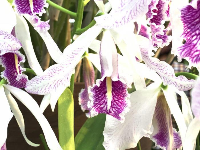 マキシマは白〜濃い赤紫、青などの花色がありますが、いずれもリップに葉脈のような筋模様が入るのが特徴です。リップとはランの花の花弁の一つです。ランの花は、6つのパーツからできています。