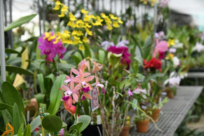 Seedpotの小島研二さんが営む小島舎は、カトレアを得意とするラン園。  カトレアは春咲き、夏咲き、秋咲き、冬咲きと各季節に咲くタイプがありますが、そうしたバリエーションも豊富に揃った充実のラインナップはさすが。