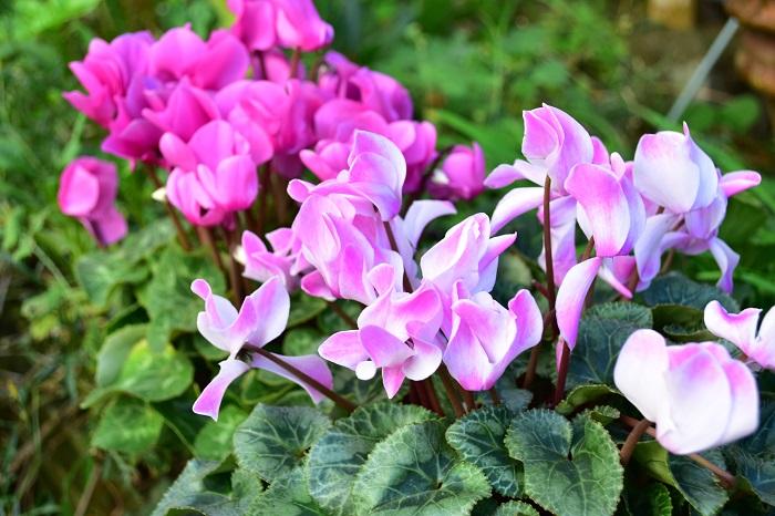 白いシクラメンの花言葉は「清純」。  ピンクのシクラメンの花言葉は「憧れ」「内気」。  赤いシクラメンの花言葉は「嫉妬」。