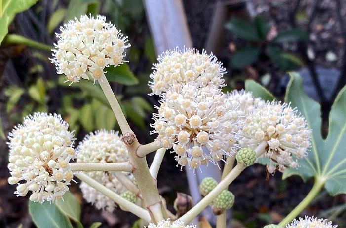 ボール状の一粒、一粒が花火のようにはじけて小さな花が開花し、その後緑の実となります。実の状態のヤツデは、最近は切り花としても流通するようになりました。