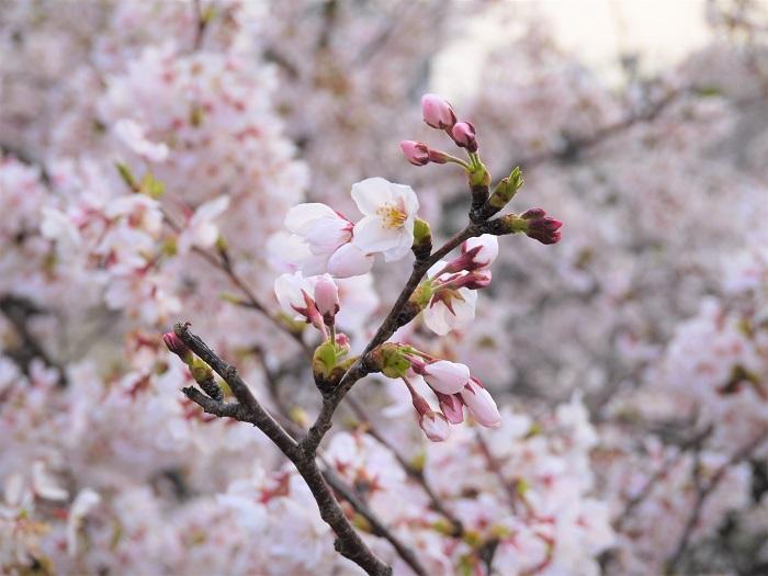 学名:prunus spp. 英名:sakura 科名:バラ科 属名:サクラ属 分類:落葉低木、高木 桜は美しい花を咲かせることで有名な、日本を代表する落葉高木、低木の花木です。たくさんの種類や品種があります。毎年桜の開花を心待ちにしている人は多いでしょう。私たちが春の代名詞のように親しんでいる桜は染井吉野(ソメイヨシノ)という品種です。