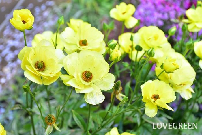 ラックスシリーズは、花びらがキラキラと光っているのが特徴のラナンキュラスです。咲き方がスプレー咲きなので、一輪でたくさんの花を楽しめます。  通常のラナンキュラスの球根は、花が咲いた後に堀りあげるのが一般的ですが、ラックス系のラナンキュラスは植えっぱなしでも翌年咲くので花壇におすすめ。背丈も高いので庭や花壇で目を引く存在になります。
