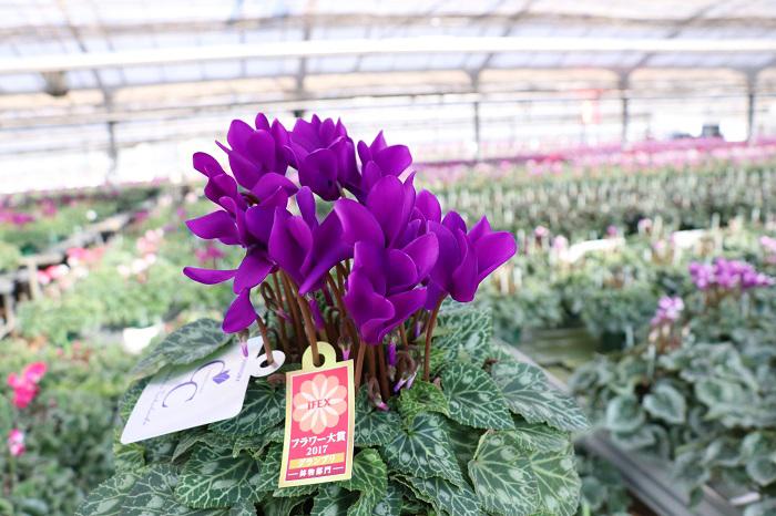 このブルーシクラメンは江戸ノ青(えどのあお)。深い青色のシャープな花弁が魅力です。普通のシクラメンは夏に花を休むのですが、「江戸ノ青」は上手に育てると年間通じて休まず咲くそうです。  実は今回参加してくれた皆様には特別、この「江戸ノ青」のプレゼントがありました。ツアー冒頭に「帰りにお持ち帰りいただくのはこの江戸ノ青です。」と紹介があり、歓声が上がりました。こんな素敵なブルーシクラメンとの暮らしが始まるなんで、皆さんドキドキですね。ぜひ、ブルーシクラメンの魅力をたくさん発信して下さい。(笑)