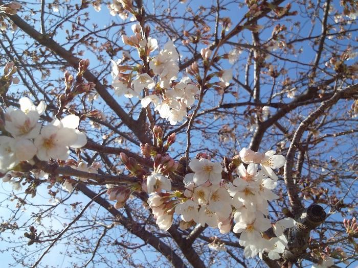 開花期:3月下旬~4月上旬 花色:淡いピンク 咲き方:一重咲き 私たちがお花見を楽しんでいる桜のほとんどは染井吉野(ソメイヨシノ)です。日本で桜と言えば染井吉野(ソメイヨシノ)と言っても過言ではないほど人気の桜です。薄っすらピンク色の花びらは可憐で美しく、夜には暗い空を背景に枝を広げる姿も夜桜と呼ばれ、親しまれています。  染井吉野(ソメイヨシノ)は大島桜(オオシマザクラ)と他の桜の交配種です。花期は3月下旬から4月上旬。実生では増えないため、人工的にが接木で増やしてきた品種です。  染井吉野(ソメイヨシノ)は若木でも花を咲かせるので、戦後焼け野原になった日本にたくさん植えられました。今では桜の代名詞のようになっています。花付きが良く、花後に葉が出てくるので、開花中は樹全体が花で覆われたかのようになり、桜の華やかさを存分に楽しめるのも特徴です。  染井吉野(ソメイヨシノ)は風雨で花びらが散りやすく、桜の花を待ち焦がれてやっと咲いたと思ったら風や雨であっというまに散ってしまう儚さも人気の理由です。