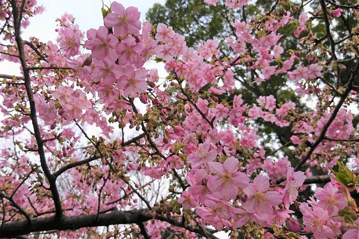 河津桜(カワツサクラ) 開花期:2月中旬~4月上旬 花色:はっきりとしたピンク 咲き方:一重咲き ピンク色の花びらが人気の早咲きの桜です。伊豆の河津町で発見されたことが名前の由来とされています。染井吉野(ソメイヨシノ)よりも開花が早く、3月くらいから咲き始めます。花期が長いのも特徴で、1ヶ月くらい咲き続けます。他の桜と違い、風で花びらが散りにくいようです。