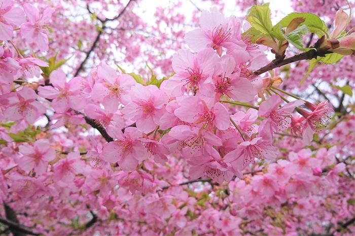 ちょっと大人な楽しみ方をご紹介します。桜にちなんだお酒です。  カクテル・チェリーブロッサム 桜をイメージして作られたカクテルです。実際に桜のエッセンスなどは入っていません。色も桜の花というよりも桜の果実のような鮮やかな色をしています。  ブランデーにオレンジリキュール、グレナデンシロップなど混ぜて作られるショートカクテルです。アルコール度数も25度以上と高めですので、お召し上がりの際は気をつけてください。