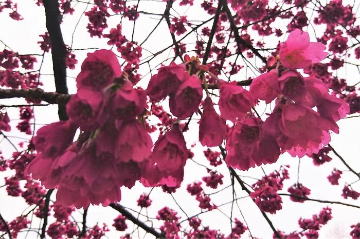 寒緋桜(カンヒサクラ) 開花期:2月中旬~4月上旬 花色:赤に近い濃いピンク 咲き方:一重咲き、下向きに咲く、花びらが散らない 河津桜(カワツサクラ)と同じころに咲く桜です。緋桜といういわれるように、緋色が美しい品種です。花は少し俯き加減に閉じたように咲きます。満開になると緋色の密度が増し、遠目からでも目を惹きます。他の桜と違って風で花びらが舞い散ることが無く、花首からぽとりと落ちるように散る姿が印象的です。