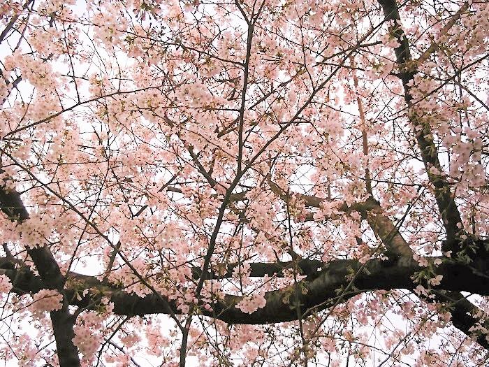 桜とは、バラ科サクラ属の総称です。日本の春を代表する花、桜には色んな種類があることをご存知でしたか。全てではありませんが、身近なところで見かける桜の種類を8種ご紹介します。  染井吉野(ソメイヨシノ) 開花期:3月下旬~4月上旬 花色:淡いピンク 咲き方:一重咲き 私たちがお花見を楽しんでいる桜のほとんどは染井吉野(ソメイヨシノ)です。日本で桜と言えば染井吉野(ソメイヨシノ)と言っても過言ではないほど人気の桜です。薄っすらピンク色の花びらは可憐で美しく、夜には暗い空を背景に枝を広げる姿も夜桜と呼ばれ、親しまれています。  染井吉野(ソメイヨシノ)は大島桜(オオシマサクラ)と他の桜の交配種です。花期は3月下旬から4月上旬。実生では増えないため、人工的にが接木で増やしてきた品種です。  染井吉野(ソメイヨシノ)は若木でも花を咲かせるので、戦後焼け野原になった日本にたくさん植えられました。今では桜の代名詞のようになっています。花付きが良く、花後に葉が出てくるので、開花中は樹全体が花で覆われたかのようになり、桜の華やかさを存分に楽しめるのも特徴です。  桜の花を待ち焦がれてやっと咲いたと思ったら風や雨であっというまに散ってしまう儚さも人気の理由です。