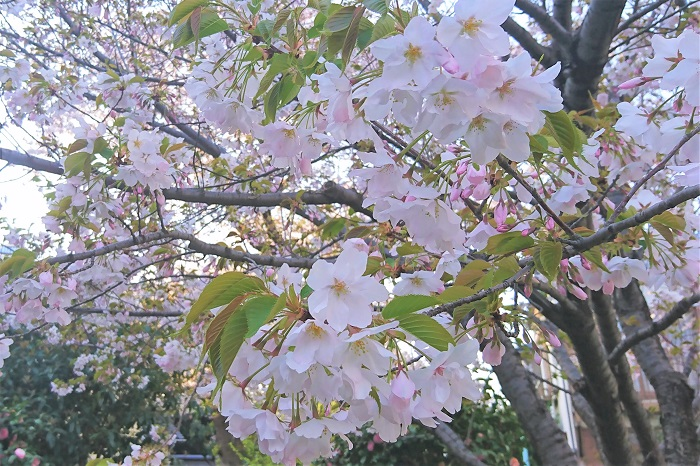 西洋実桜(セイヨウミザクラ) 開花期:3月下旬~4月上旬 花色:白~淡いピンク 咲き方:一重咲き 果実を食用に出来る桜です。開花時期はソメイヨシノと変わりません。花と同時に葉が出てきます。花も染井吉野(ソメイヨシノ)や大島桜(オオシマサクラ)と似ています。