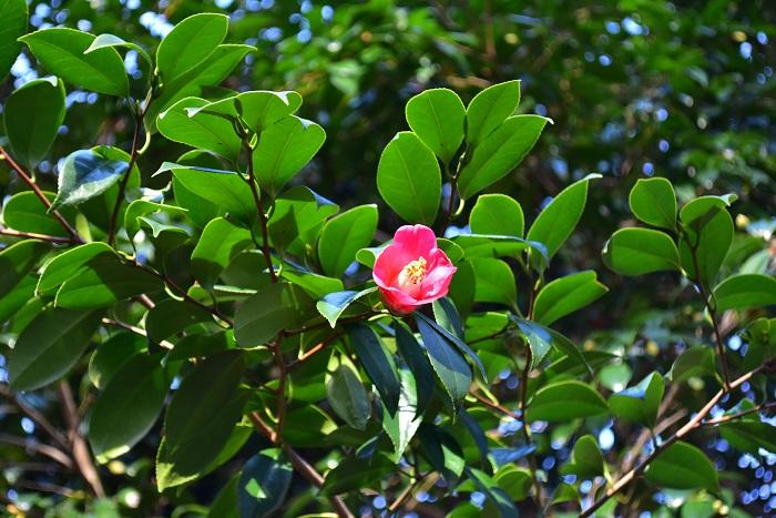 ヤブツバキ  サザンカとツバキの見分け方はいくつかありますが、開花中なら見分け方は簡単です。ツバキの花は花ごとぼたっと落ちるのに対して、サザンカは花びらが散るように落ちるので木の下に落ちている花で見分けることができます。