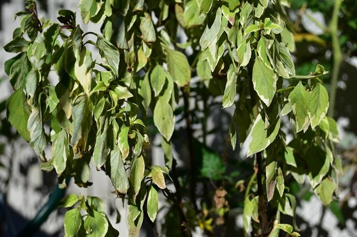 斑入りバジル  こちらは急に朝晩の気温が下がった11月下旬、前日までは元気だった葉っぱが寒さに当たった状態です。このような状態になったら、この茎自体は復活しません。こうなる前に冬越しの作業が必要です。