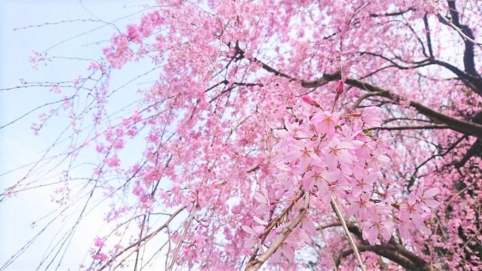 ■GUERLAINAqua Allegoria [Flora Cherrysia] ゲランアクアアレゴリア 「フローラチェリージア」  花の香りが豊富に揃う、ゲランのアクアアレゴリアシリーズに桜の花の香りが登場しました。名前もストレートに「フローラチェリージア」です。   ■CHRISTIAN DIOR [SAKURA] クリスチャン・ディオール 「サクラ」  ディオールにも桜の香りがありました。その名も「SAKURA」というフレグランスです。日本の桜の花をモチーフにした香りです。気になります。  ■L'Occitane [Cherry Prism] ロクシタン 「チェリープリズム」  ロクシタンからチェリーブロッサムに加えて、新しく「チェリープリズム」が登場です。桜の花と果実のエッセンスが入ったフレグランスです。この「チェリープリズム」に使用されている桜はスミノミザクラと言って、ヨーロッパを中心に分布している桜です。
