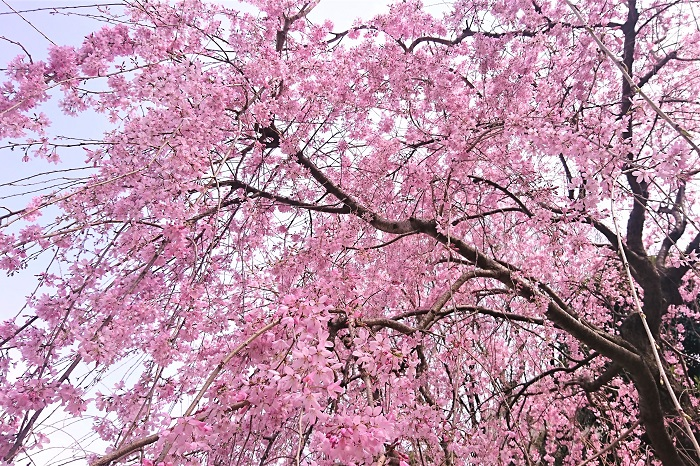 枝垂れ桜(シダレザクラ) 開花期:3月下旬~4月上旬 花色:淡いピンク 咲き方:一重咲き 枝が枝垂れている桜の総称としても使われています。花は小ぶりで濃いピンク、八重咲きの品種もあります。花期も長く見応えのある桜です。