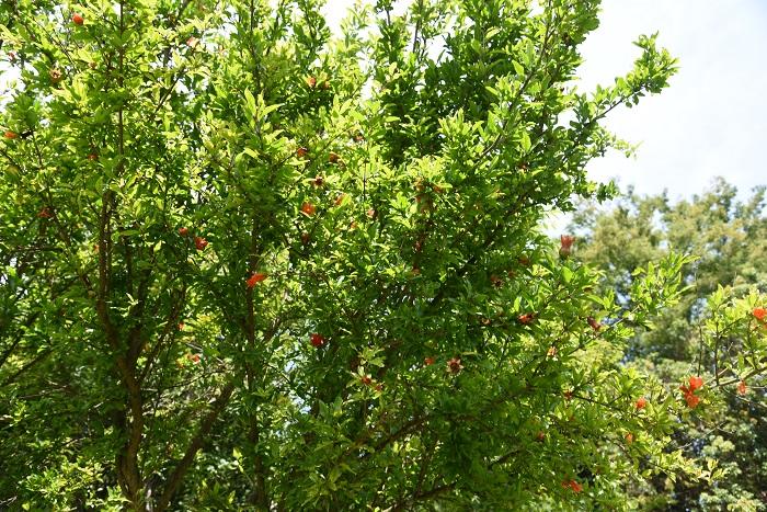 ザクロ(柘榴)には通常のザクロ(柘榴)の他に「ヒメザクロ」や「一才(いっさい)ザクロ」と呼ばれる矮性種もあります。  矮性種は小さな樹高のまま、花も実も付けます。矮性のザクロ(柘榴)は花も実も通常のザクロ(柘榴)より小さく、3cmくらいと小ぶりです。