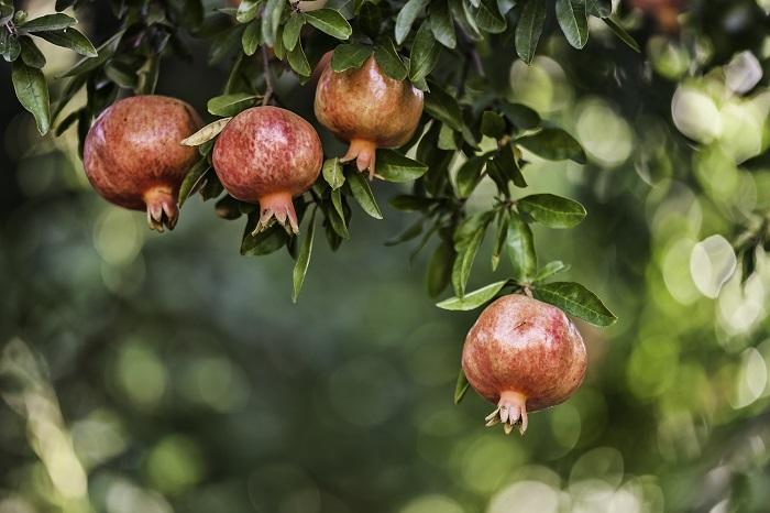 学名:Punica granatum 科名:ミソハギ科 属名:ザクロ属 分類:落葉高木 花期:5~7月 収獲期:10~11月 ザクロ(柘榴)はその昔、中東の方から中国を経て日本に渡ってきました。寿命の長い樹木で、独特の形状の果実を付けることで有名な落葉高木です。  ザクロ(柘榴)の幹は細く灰褐色をしていて、光沢のある明るいグリーンの小さな葉をつけます。枝に小さなトゲがあるのも特徴です。日当たりがよければ花付きがよく、実もたくさん収獲できるので、昔から庭木として好まれてきました。