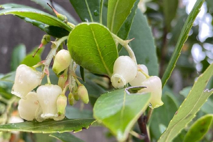 イチゴノキは、ツツジ科の常緑の中低木でイチゴのような実がつくことから名づけられました。イチゴノキの花は、晩秋から12月の冬にかけて白い花が開花します。花の形は同じツツジ科の庭木である、ドウダンツツジやブルーベリーの花に似た、白くて小さな壺型の形状をしています。