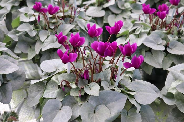 月下は、月光を受けた雪のように花色を際立たせる銀色の葉っぱをしています。  このような新しい品種のシクラメンが世の中に出るまでには、10年近く交配作業が繰り返され、100の種を蒔いて100同じ花が咲いて初めて生産できるそうです。非常に手間と時間のかかる作業が行われ新しいシクラメンが生まれていることを知りました。