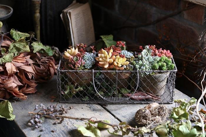 赤やオレンジに紅葉した鮮やかな葉色の多肉植物を使用した寄せ植え。3.5号の素焼き鉢にそれぞれ寄せ植えしたものを、長方形のワイヤーバスケットに三鉢並べてひとつの作品にまとめました。このままギフトにしても可愛らしくておすすめです。