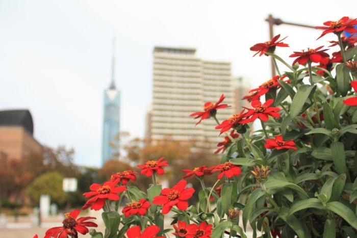 ▲福岡タワーに続く歩道にも沢山の花壇があります。  福岡と言えば、もつ鍋や水炊き、ラーメンなど、グルメな街として有名ですよね。そんな福岡、実は植物とのつながりが深いのはご存知ですか?大都市でありながら自然や緑が豊かな街なのも福岡の魅力の一つ。福岡市内の街並みには常に花があしらわれています。歩道には花壇やプランターの花が咲き、車が行き来する中央分離帯にも花壇が配置されています。駅や商業施設の一角にも花壇が見受けられ、いたるところに花があることにあなたお気づきでしょうか?福岡では、福岡に住む人、訪れる人におもてなしの一環として花をあしらい、美しい景観づくりに取り組んでいます。